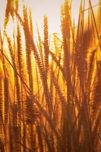 Rice Agriculture Field Golden Hour Grass 5k