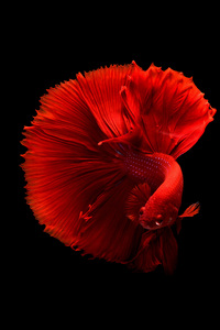 Siamese Fighting Fish 4k