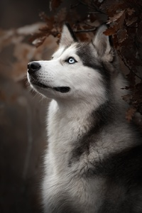320x480 Siberian Husky Dog Breed