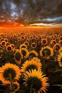 640x960 Sunflower Field