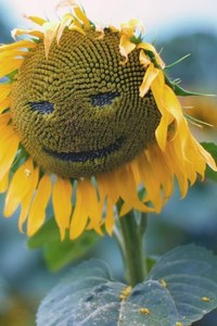 800x1280 Sunflower Smiley
