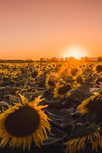 320x568 Sunflowers Farm Golden Hour 5k
