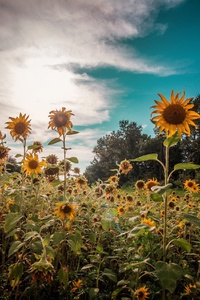 Sunflowers Nature