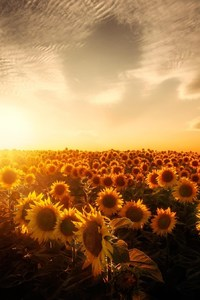 Sunflowers Sunset