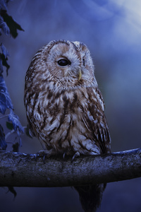 Tawny Owl In Moonlight
