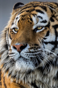 320x568 Tiger Closeup 4k