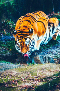 720x1280 Tiger Drinking Water HD