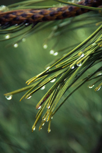 360x640 Water Drops On Green Pine 4k