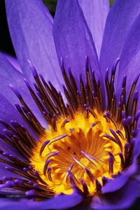 1440x2960 Water Lilies Macro Photography