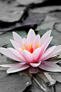 720x1280 Water Lily 5k