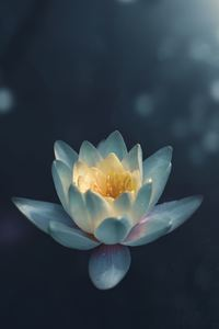 540x960 Water Lily