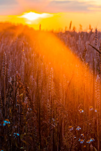 320x480 Wheat Field Sun Beams Photography 5k