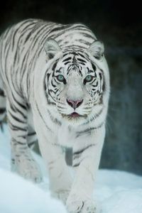 480x800 White Tiger In Snow