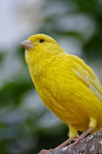 640x960 Yellow Canary