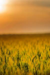 Yellow Green Field During Sunset 4k