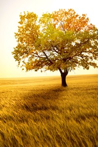 640x960 Yellow Tree In Yellow Field