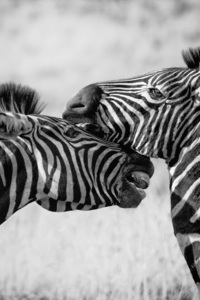 640x1136 Zebras Black And White 4k